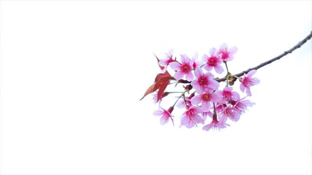 sakura tree. - flower head stock videos & royalty-free footage