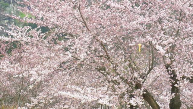 Sakura árboles flor con rosa Flores de primavera en Japón