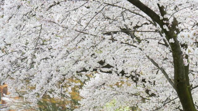 桜の木、ピンクの花、花、温泉日本 - 沢山の物点の映像素材/bロール