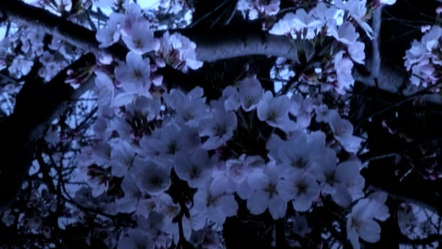 sakura twilight reflection - anamorphic stock videos & royalty-free footage