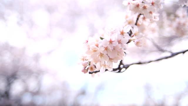 vídeos de stock e filmes b-roll de sakura - pomar