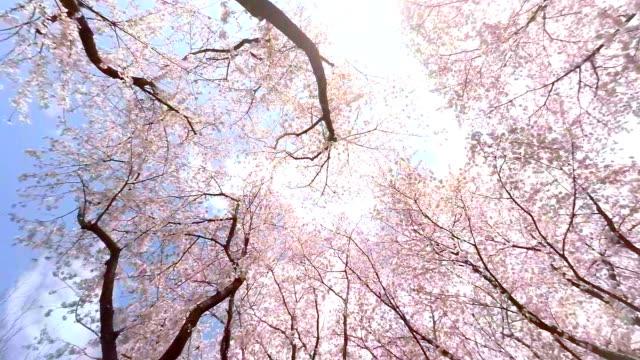 vídeos y material grabado en eventos de stock de sakura - plusphoto