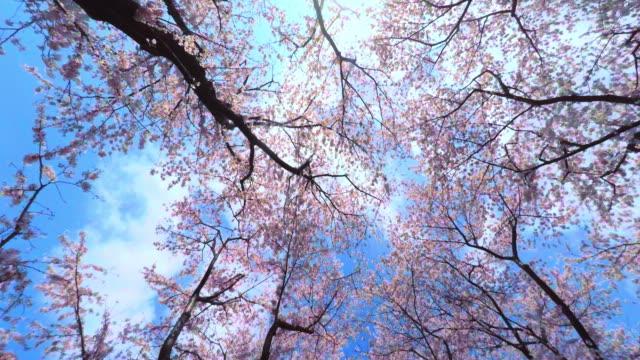vídeos de stock e filmes b-roll de sakura - 4 k - flor de cerejeira