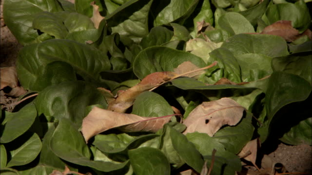 vidéos et rushes de salad greens grow in the vegetable garden at saint catherine's monastery in mount sinai egypt. available in hd. - salade verte