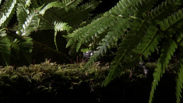 a salamander creeps along a log, then hides among ferns. - appalachia stock videos & royalty-free footage