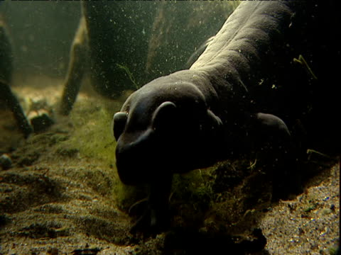 salamander walks away on swamp bed - salamander stock videos and b-roll footage