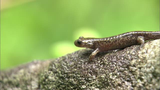 vídeos y material grabado en eventos de stock de salamanders_daisetsuzan volcanic group hokkaid_ - anfibio