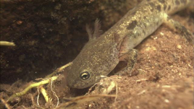 salamanders_daisetsuzan volcanic group hokkaid_ - salamander stock videos and b-roll footage