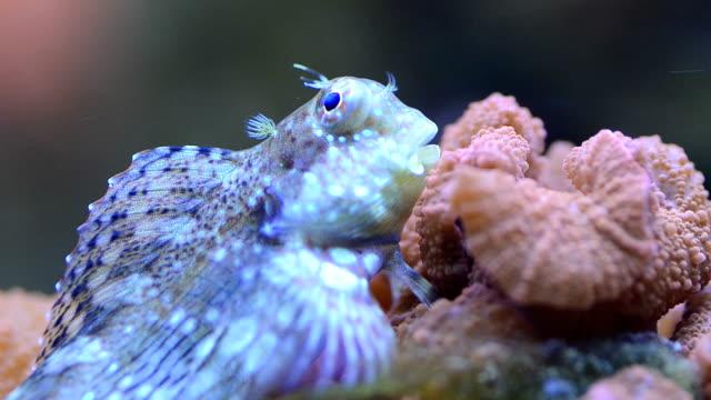 Salarias fasciatus-Lawnmower Blenny