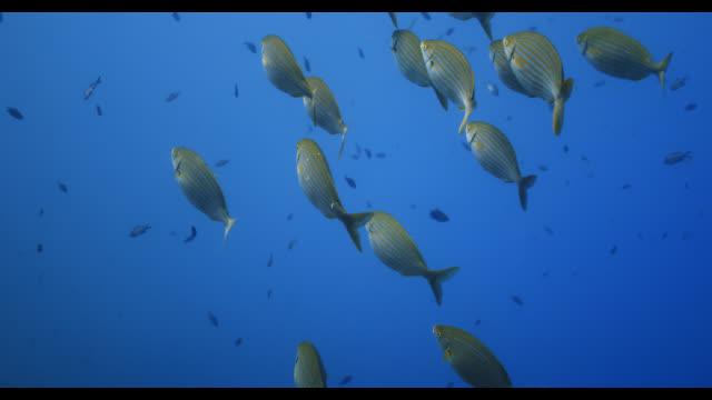 salema porgy-saupe (sarpa salpa) - mediterranean sea stock videos & royalty-free footage