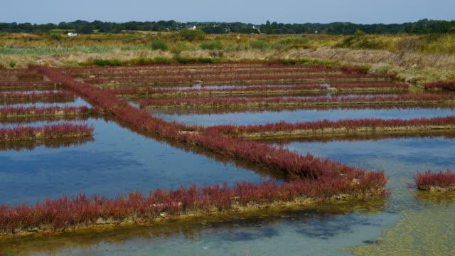 vidéos et rushes de salicorne salt marsh, guerande,loire atlantique,france - marécage