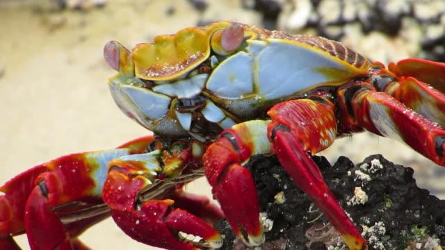 stockvideo's en b-roll-footage met sally lightfoot crab at galapagos - ecuador