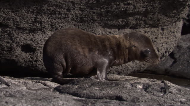 vidéos et rushes de sally lightfoot crab chased away by fur seal pup, fernandina, galapagos islands available in hd. - crabe