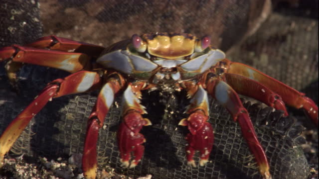 A Sally lightfoot crab crawls over the tail of a marine iguana. Available in HD.