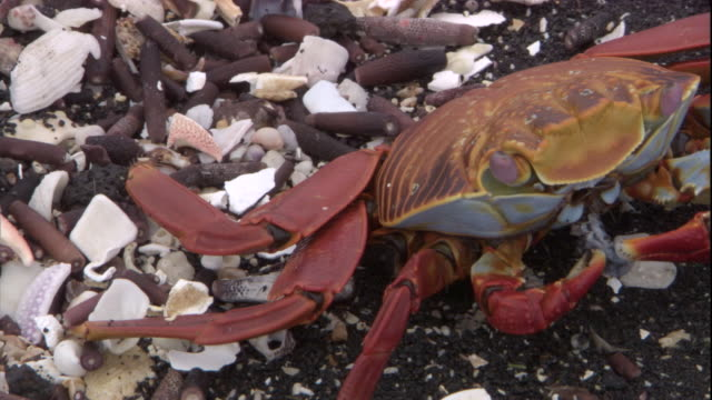 a sally lightfoot crab feeds on detritus on a beach. available in hd. - crab stock videos & royalty-free footage