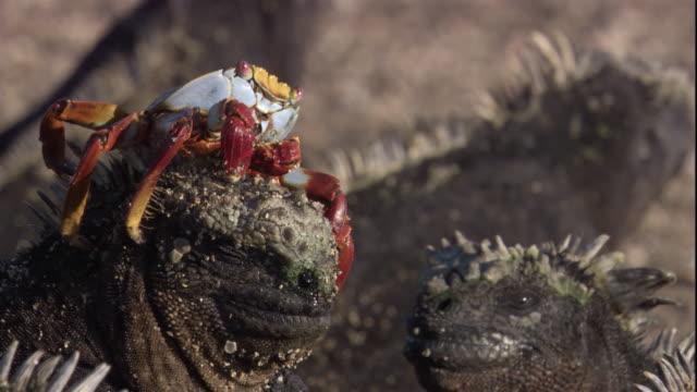 a sally lightfoot crab feeds on organisms on the head of a marine iguana. available in hd. - ガラパゴス諸島点の映像素材/bロール