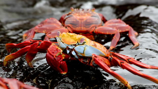 Sally Lightfoot Crab HD video. Galapagos Islands. Ecuador