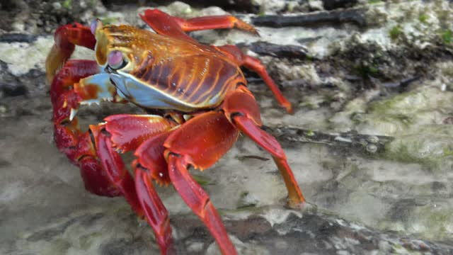 sally lightfoot crabs are gorgeous creatures with some of the most vivid colour in the animal world. intense red patches with black, white, and gold... - animal colour stock videos & royalty-free footage