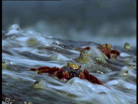 Sally Lightfoot crabs eat as wave crashes over them, Galapagos