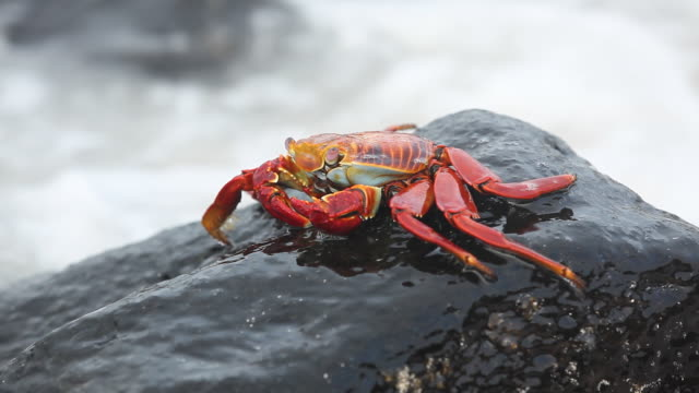 Sally-lightfoot Crab