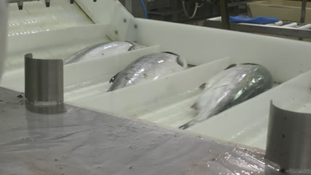 salmon being sorted and moving along conveyor belt at fish processing factory - salmon seafood stock videos & royalty-free footage