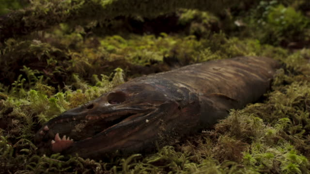Salmon carcass starts to decompose amongst moss.