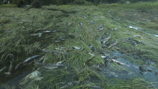 salmon carcasses on shore lifted by rising water level. - dead animal stock videos and b-roll footage
