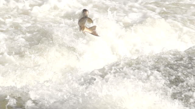 Salmon Jumping Over Weir In River Rapids