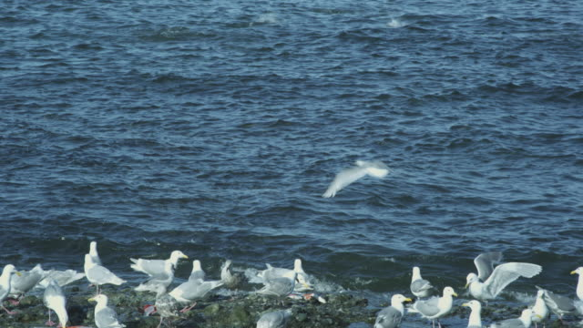 salmon leap in sea with seagulls on shore, mcneil river game range, alaska, 2011 - 獲った魚点の映像素材/bロール