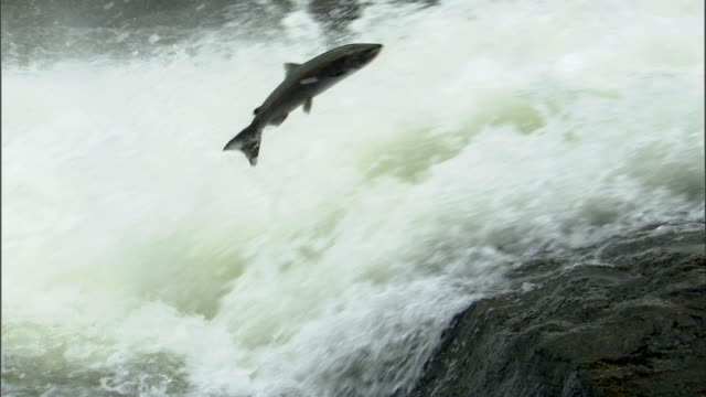 Salmon leap up a raging waterfall in the Lowe Inlet Marine Provincial Park in Canada.