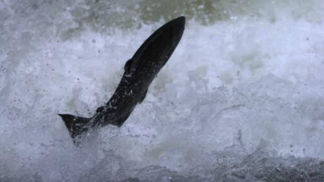 vídeos y material grabado en eventos de stock de salmon leap up waterfall. - salmón animal