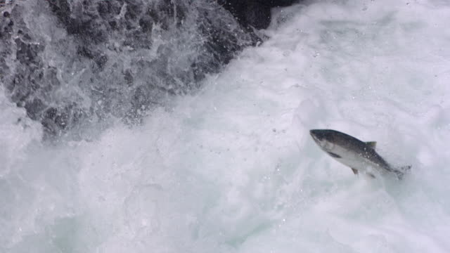 ms slo mo  salmon leaping up  in stream /  washington, united states - ruscello video stock e b–roll