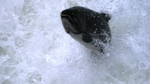 vídeos de stock, filmes e b-roll de salmon leaps out of water towards camera. - rio