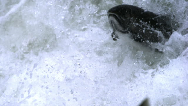 salmon leaps out of white water. - spring flowing water stock videos & royalty-free footage