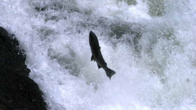 vidéos et rushes de salmon leaps up waterfall. - canada