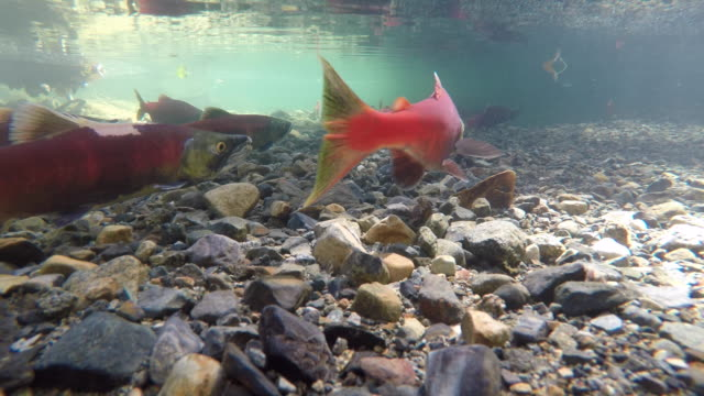salmon migrating up a small stream to spawn - animals in the wild stock videos & royalty-free footage