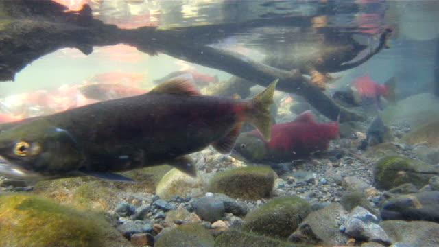 Salmon & Rainbow fish