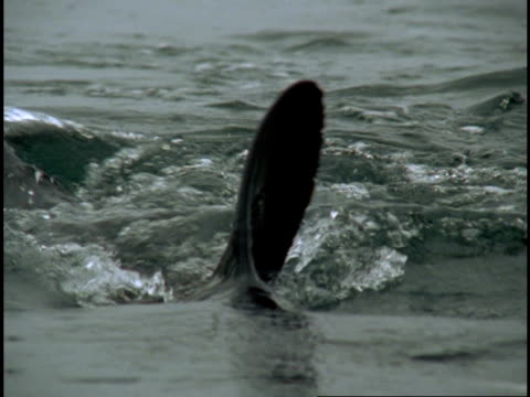 a salmon shark swims and splashes with dorsal and tail fin. - dorsal fin stock videos and b-roll footage
