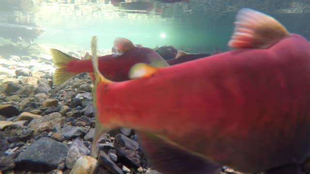 salmon spawning fall season - spawning stock videos and b-roll footage