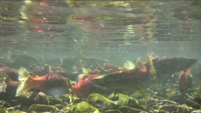 salmon swimming in a large group - spawning stock videos and b-roll footage