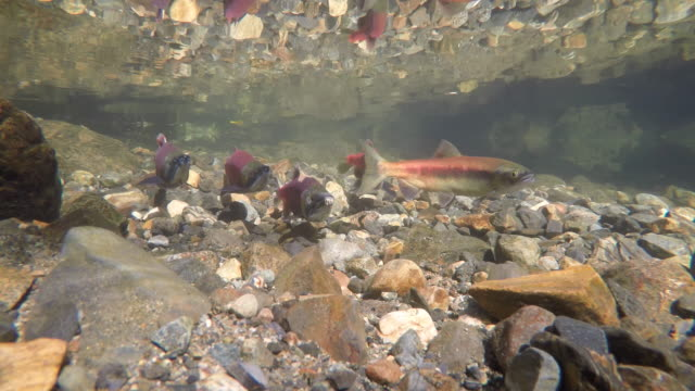 salmon swimming in a small creek - spawning stock videos and b-roll footage