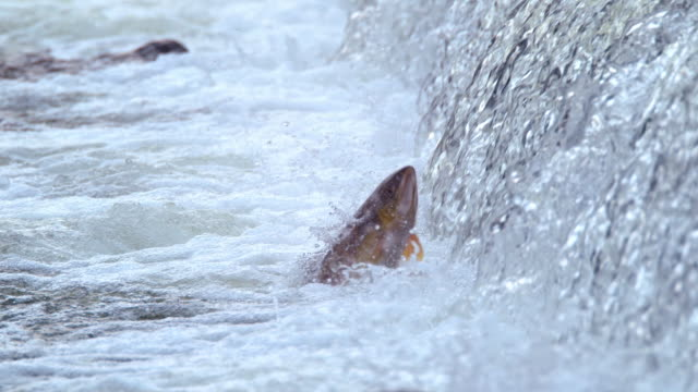 salmon swimming upstream (south korea) - comportamento animale video stock e b–roll
