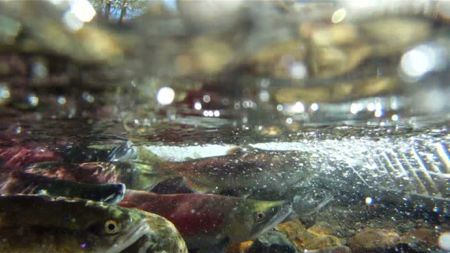 salmon swimming with sound - spawning stock videos and b-roll footage