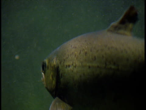 a salmon swims through sun dappled water. - gill stock videos & royalty-free footage