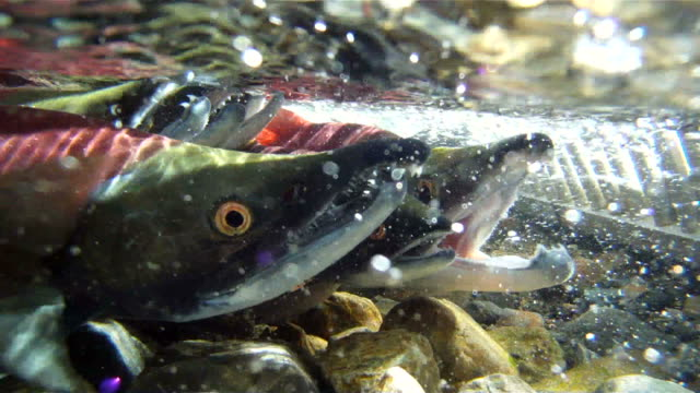 stockvideo's en b-roll-footage met salmon up close - dieren in het wild