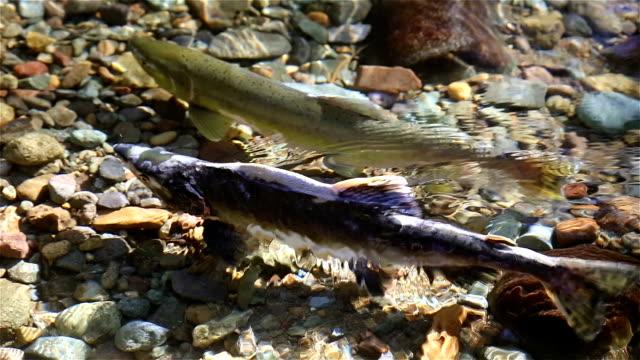 vídeos y material grabado en eventos de stock de salmón - monte rainier
