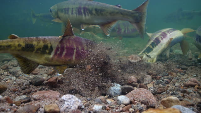 salmons digging a spawning bed in river in the dmz (demilitarized zone between south and north korea)  , goseong-gun - spawning stock videos and b-roll footage