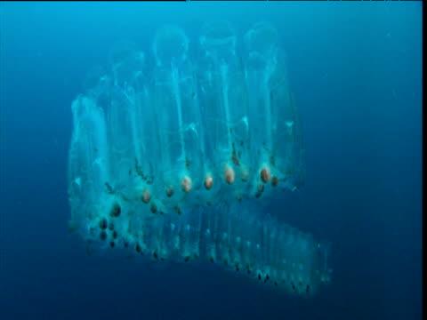 stockvideo's en b-roll-footage met salp chain drifts in open ocean, california - doorschijnend