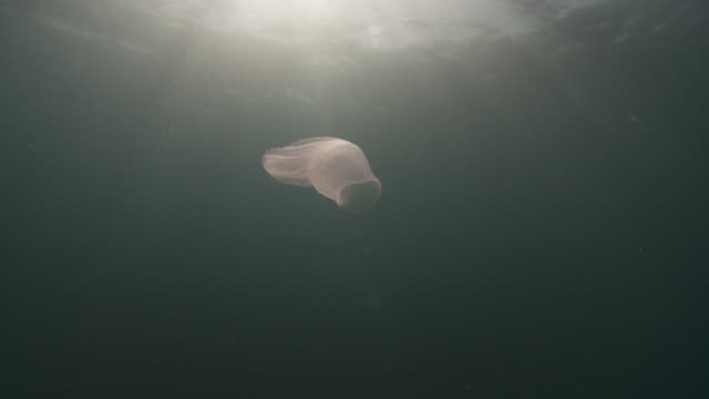 salp jellyfish floating on current - atlantic ocean stock videos and b-roll footage