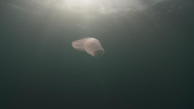 salp jellyfish floating on current - atlantic ocean stock videos & royalty-free footage